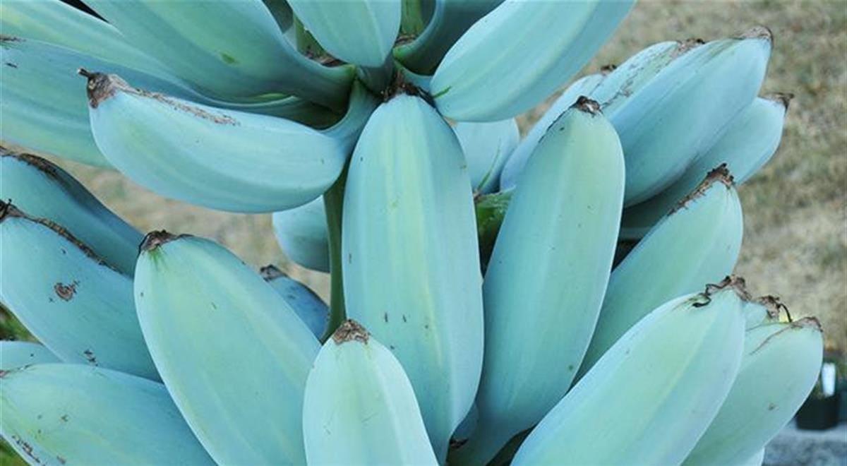 Blue Java La Banana Blu Che Sa Di Gelato Alla Vaniglia